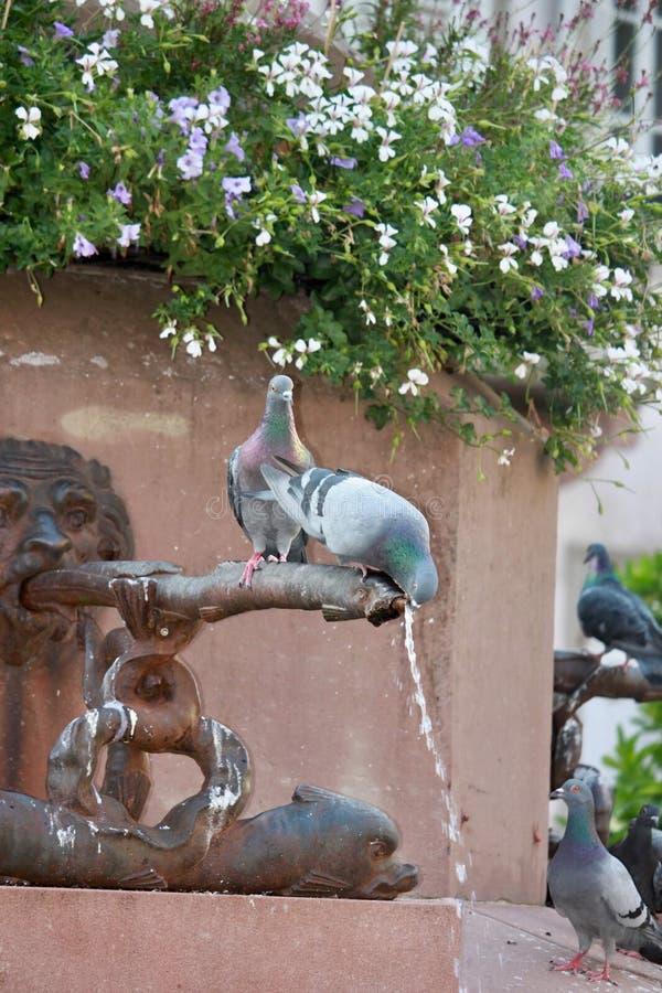 Agua potable de la paloma sedienta imagen de archivo libre de regalías