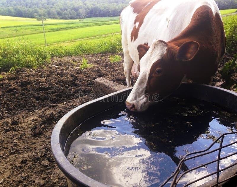 Agua potable de la vaca del canal foto de archivo