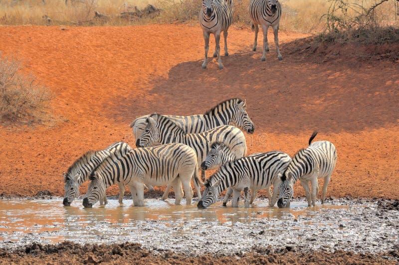Agua potable de las cebras imagen de archivo libre de regalías