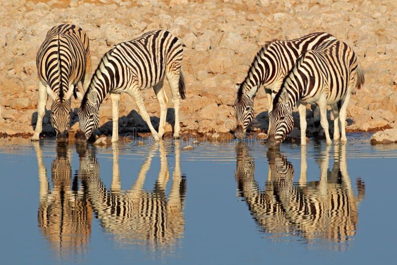Agua potable de las cebras de los llanos, Etosha fotos de archivo libres de regalías