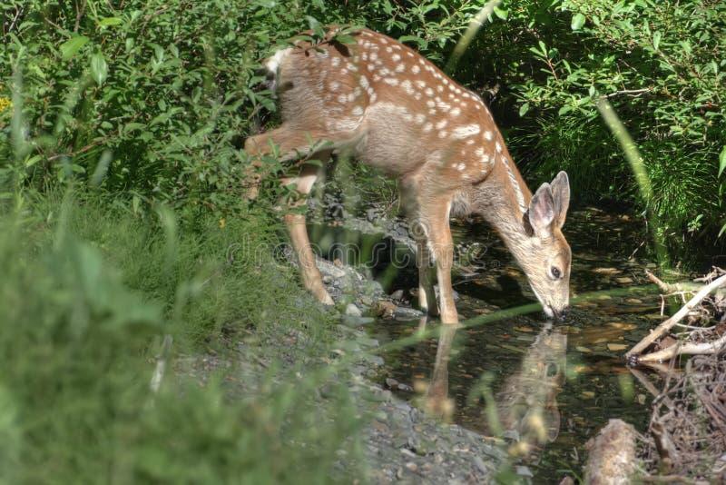 Agua potable de los ciervos   imagen de archivo