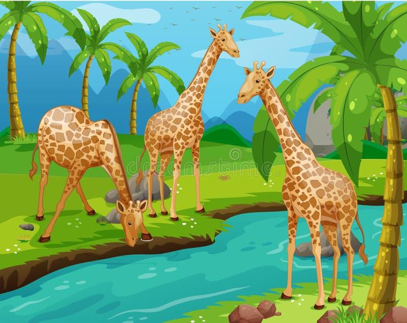 Agua potable de tres jirafas ilustración del vector