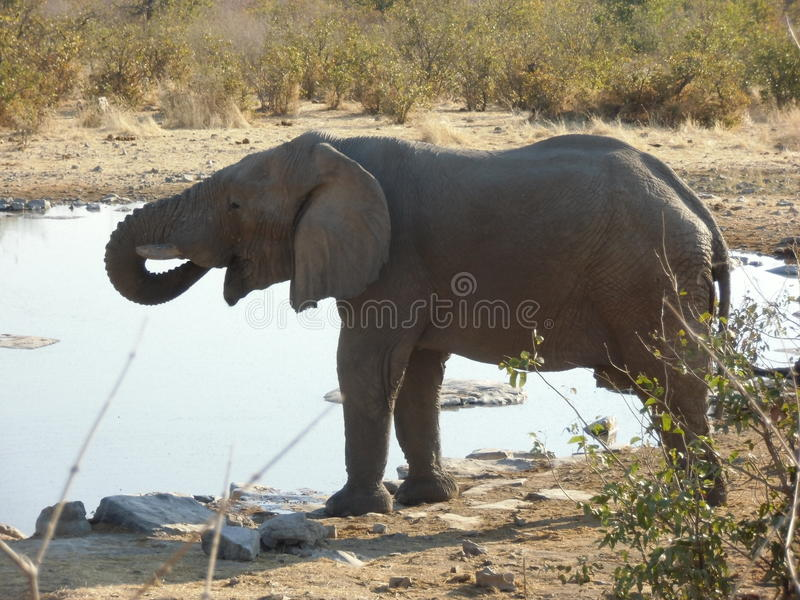 Agua potable del elefante foto de archivo