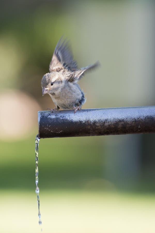 Agua potable del gorrión. imagen de archivo