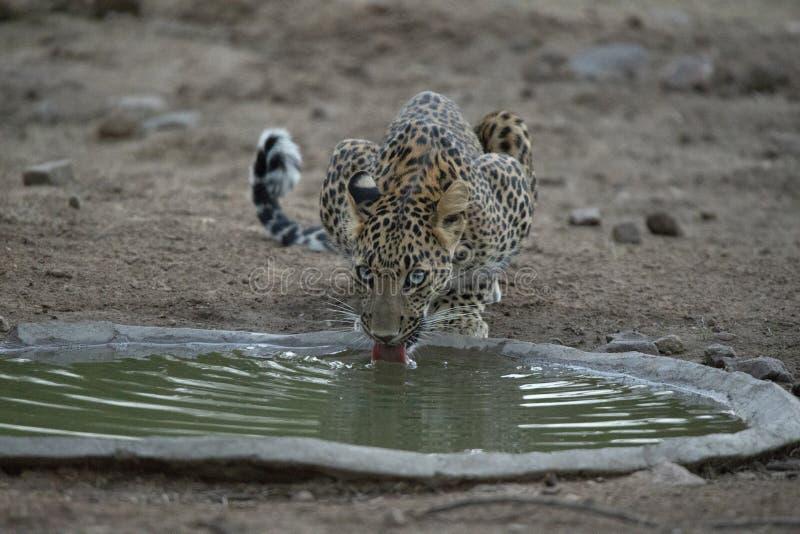 Agua potable del leopardo indio, fusca del pardus del Panthera, Jhalana, Rajasthán, la India fotografía de archivo