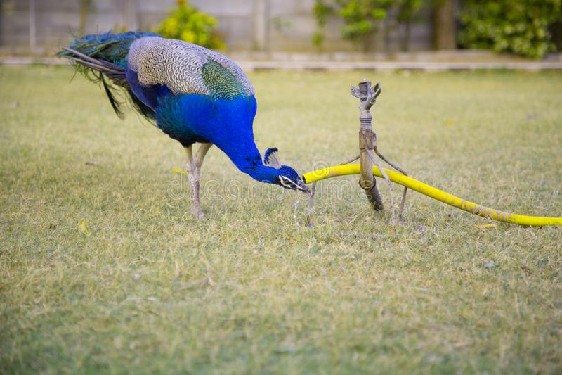 Agua potable del pavo real de la regadera fotografía de archivo libre de regalías