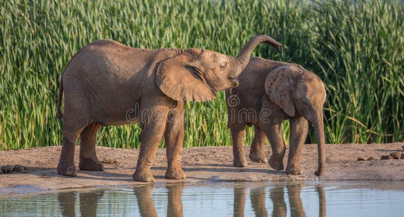 Agua potable joven y el jugar de los elefantes africanos imagen de archivo libre de regalías