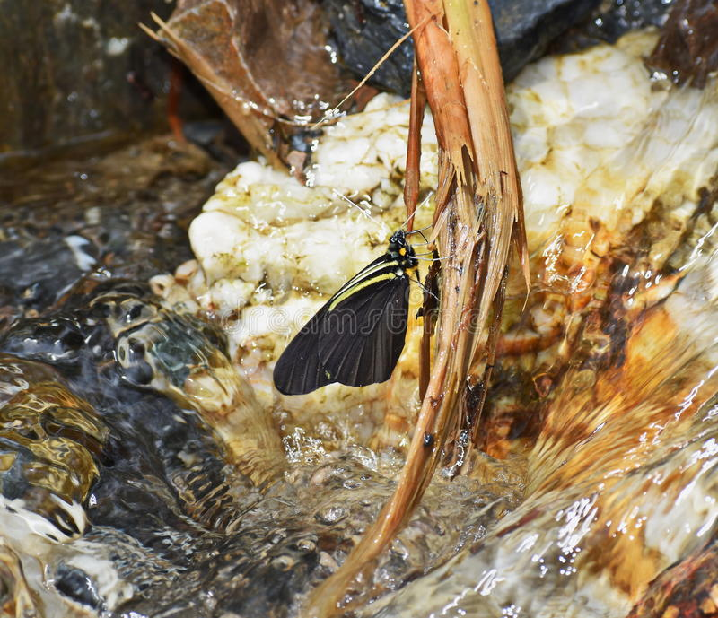 Agua que sorbe de la mariposa imagenes de archivo