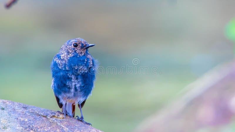 Agua-Redstart plomiza fotografía de archivo