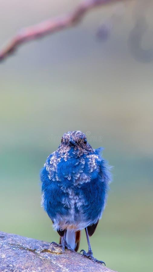 Agua-Redstart plomiza imagenes de archivo