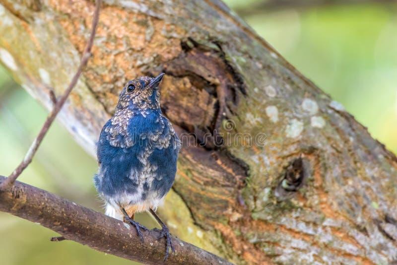 Agua-Redstart plomiza fotos de archivo libres de regalías