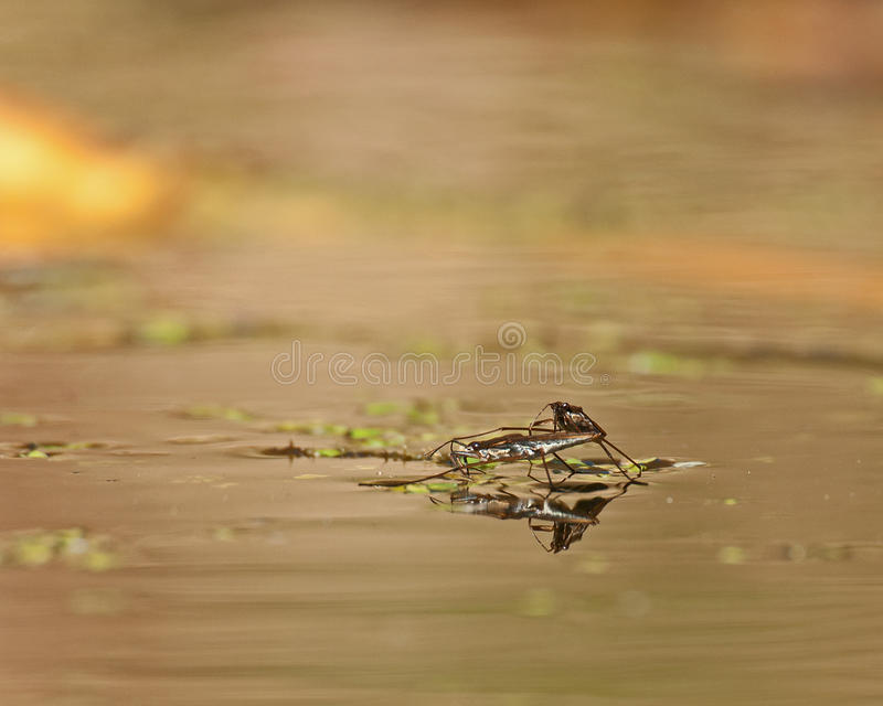 Agua Strider durante el acoplamiento fotografía de archivo