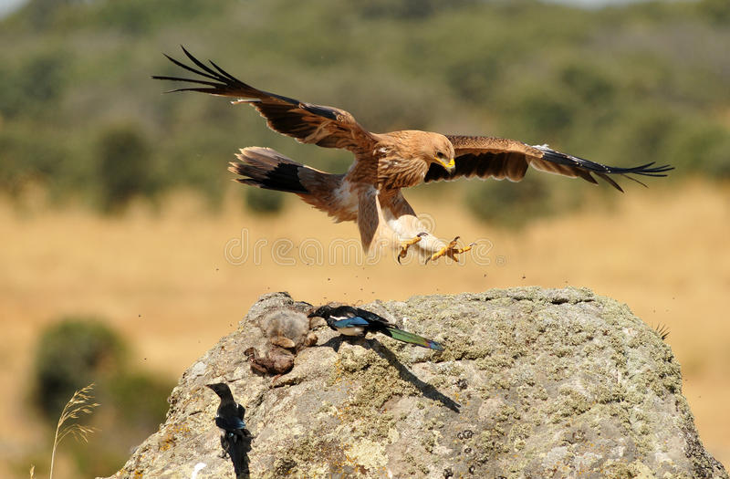 Aguila imperialistisk aterrizando arkivbilder