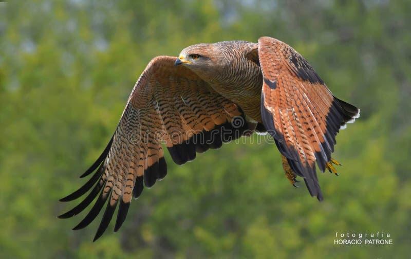 - AGUILUCHO COLORADO ( Savanne Hawk) - DE SAFARI VAN TOMA DE EEN CEIBAS-ENTRE RIOS argentini? stock afbeelding