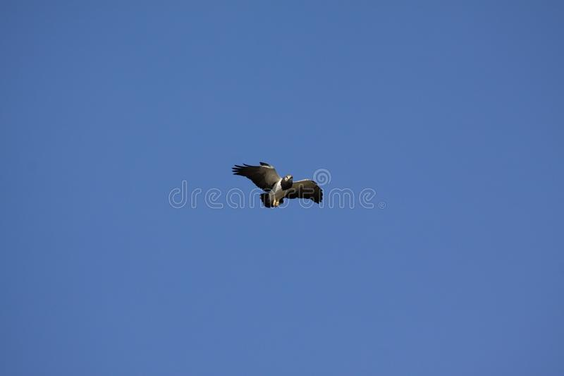 Aguja bird. Bird of prey Aguja is blue-buzzard in South America stock photo