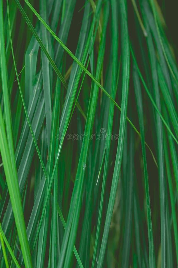 Aguja estrecha larga como las hojas que cuelgan de las plantas tropicales que forman el modelo botánico natural del follaje Rich  foto de archivo