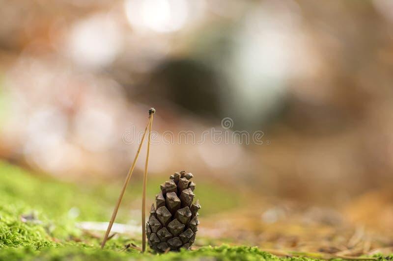 Aguja y cono cerrado del pino en el musgo en fondo borroso imagenes de archivo