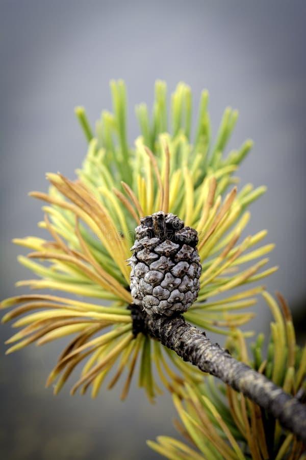 Agujas amarillas en un árbol de pino con todavía un cono en él imagenes de archivo