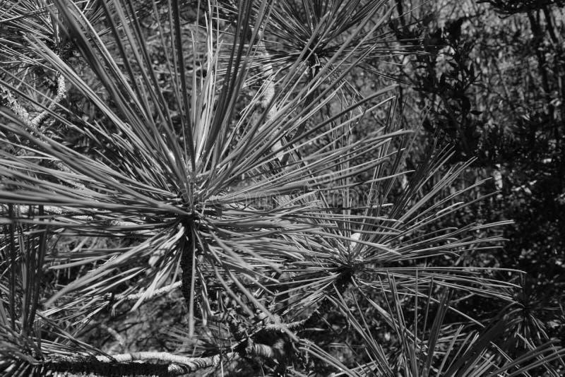 Agujas blancos y negros del árbol de pino fotografía de archivo