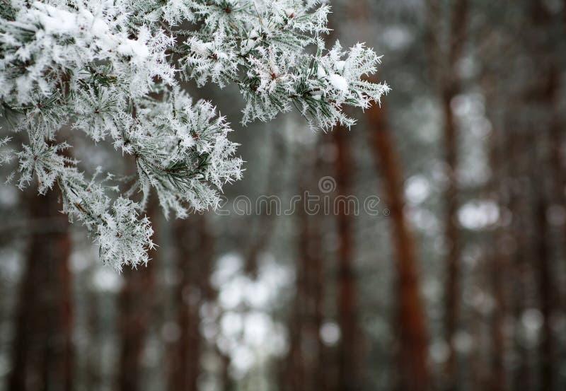 Agujas congeladas de las ramas de árbol de pino en invierno imagen de archivo libre de regalías