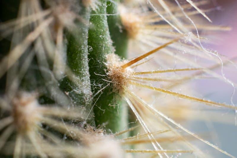 Agujas del cierre verde del cactus para arriba, foto macra foto de archivo libre de regalías
