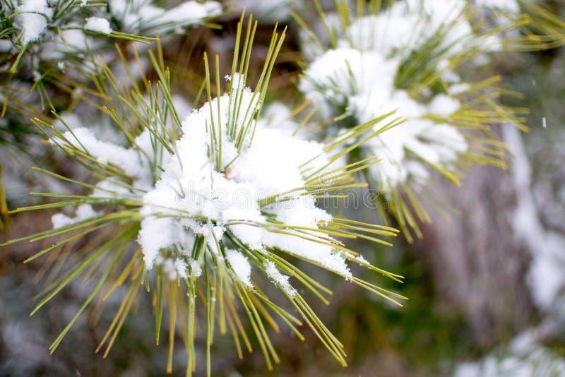 Agujas del pino con nieve fotografía de archivo