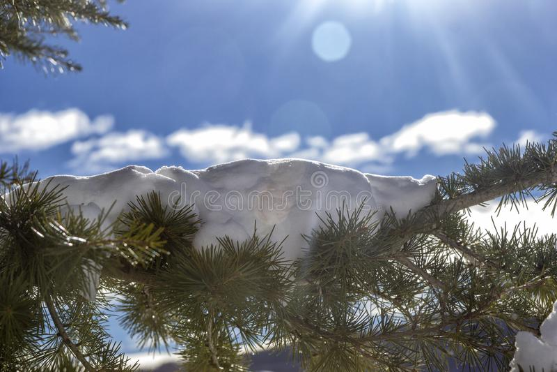 Agujas del pino con nieve fotos de archivo libres de regalías