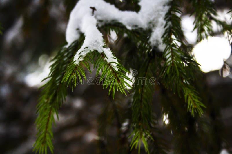 Agujas en el cierre del árbol de navidad - para arriba cubierto con nieve imágenes de archivo libres de regalías