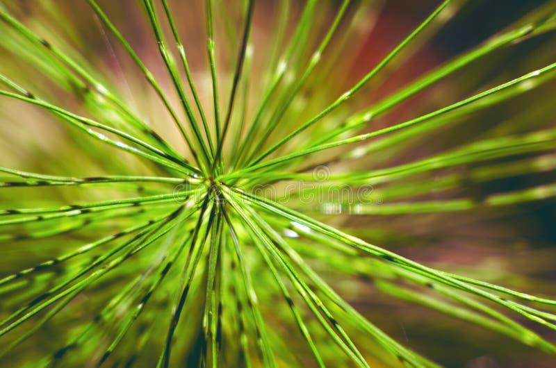 Agujas, la rama conífera del árbol de pino imagen de archivo libre de regalías