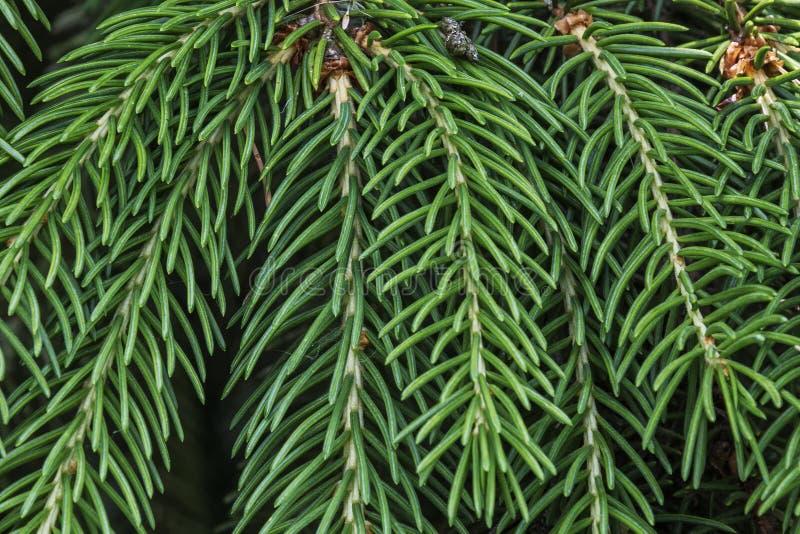 Agujas verdes en la rama spruce, cierre - para arriba imagen de archivo libre de regalías