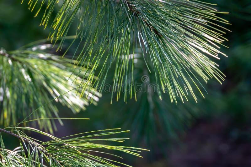 Agujas verdes largas del strobus del pinus del pino blanco contra el sol en jardín verde borroso Agujas superiores del foco macro fotografía de archivo libre de regalías