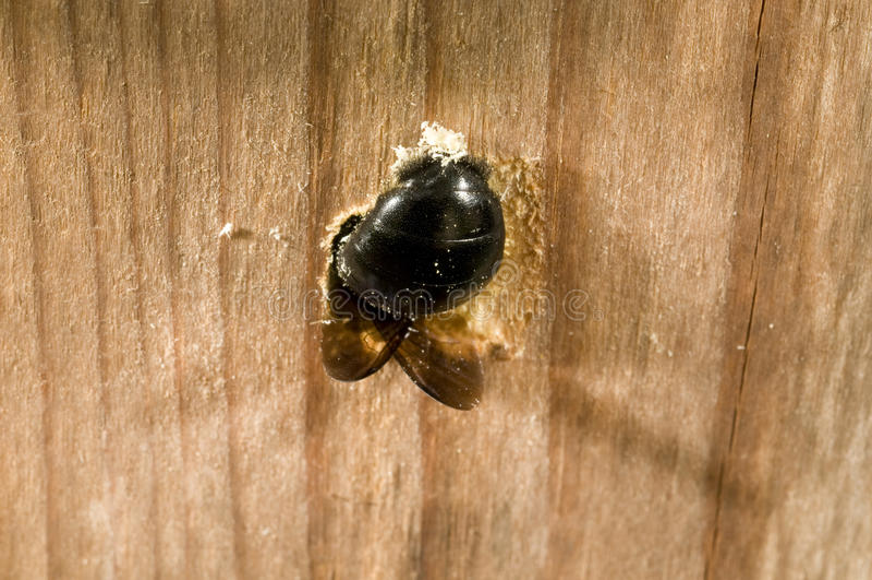 Agujero de excavación femenino de la jerarquía de la abeja de carpintero imágenes de archivo libres de regalías