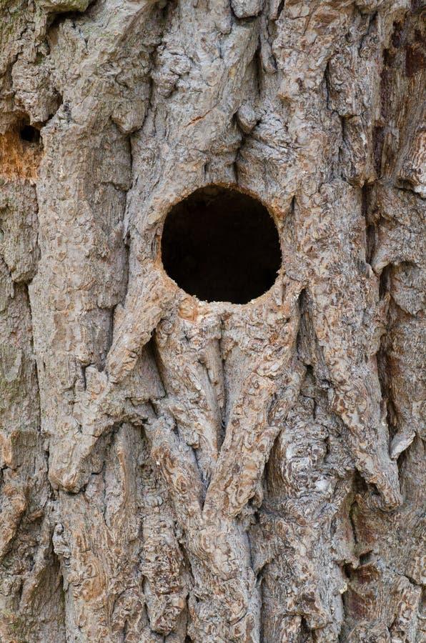 Agujero de la jerarquía del pájaro en tronco de árbol fotos de archivo