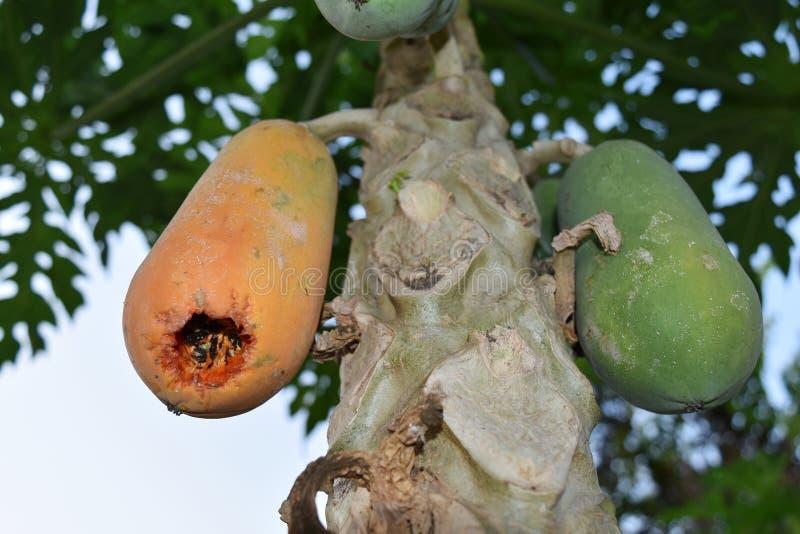 Agujero en papaya en árbol de papaya después de que el pájaro coma dentro imágenes de archivo libres de regalías