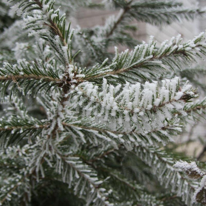 Agulhas congeladas da árvore fotografia de stock royalty free