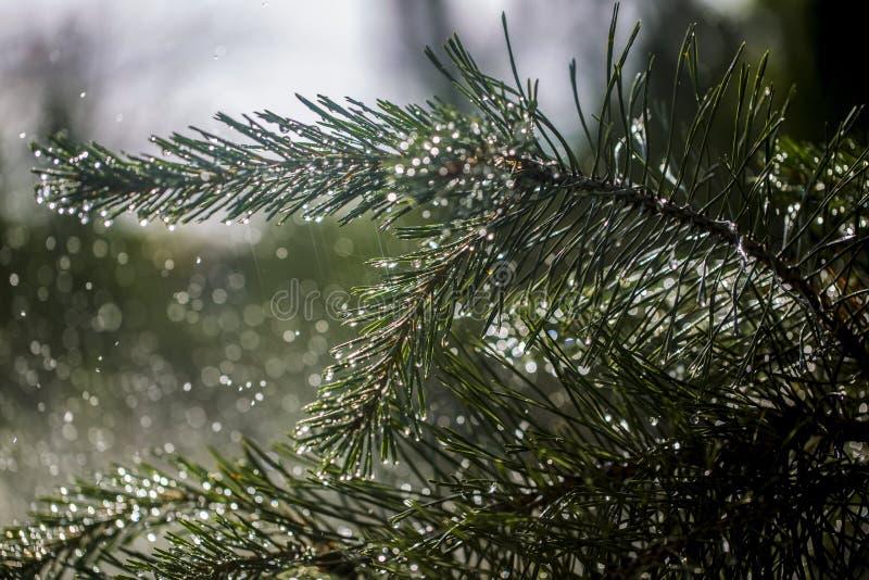 Agulhas de ramos do pinho no fundo de espirrar a água fotos de stock