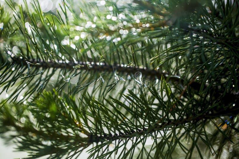 Agulhas de ramos do pinho no fundo de espirrar a água fotografia de stock