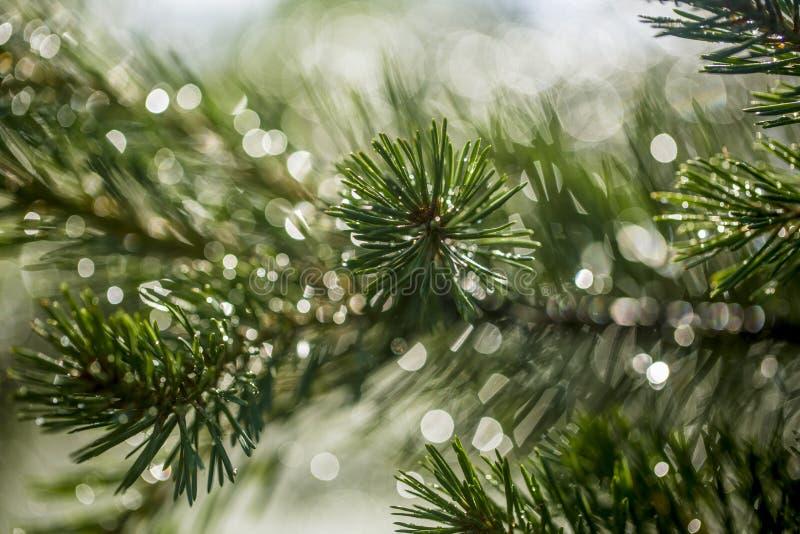 Agulhas do pinho em um ramo de árvore em um fundo de espirrar a água imagem de stock royalty free