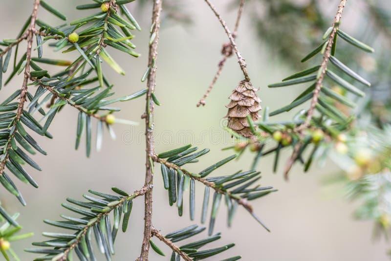 Agulhas e cone da árvore de abeto imagens de stock