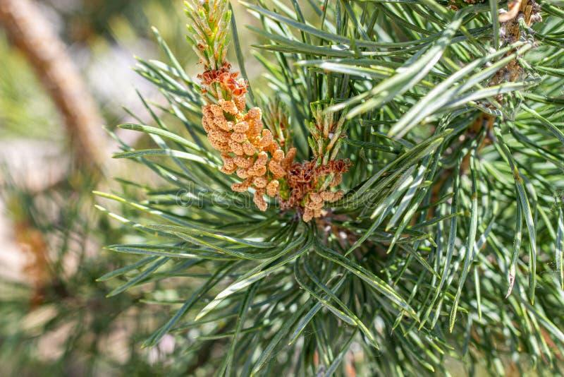 Agulhas e cones do abeto vermelho Plantas naturais nave foto de stock