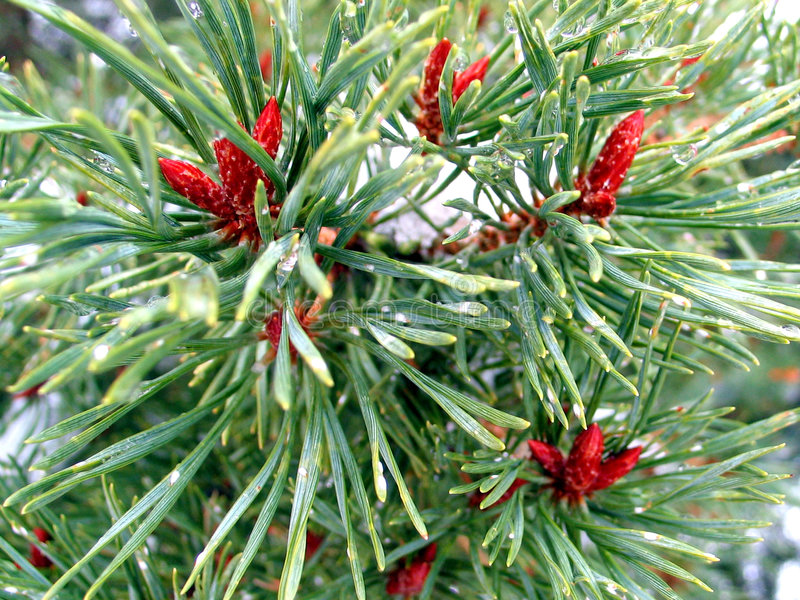 Agulhas E Cones Pequenos Foto de Stock Royalty Free