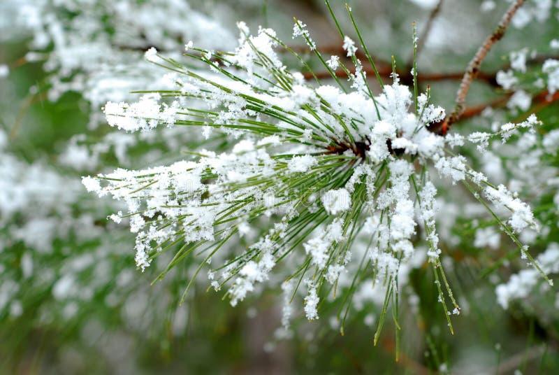 Agulhas nevado do pinho foto de stock royalty free