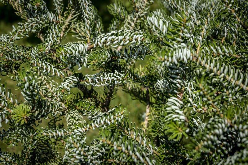 Agulhas spruce verdes e prateadas nos ramos do ` na obscuridade - fundo verde de Silberlocke do ` do koreana Abies fotografia de stock