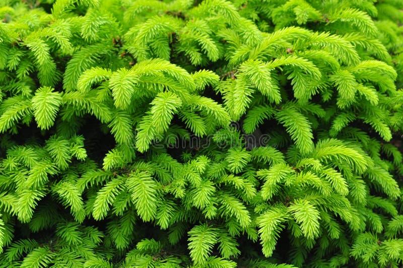 Agulhas verdes da textura imagens de stock
