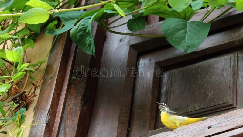 Aguzanieves amarillo occidental de Granada, al sur de España, Europa imágenes de archivo libres de regalías