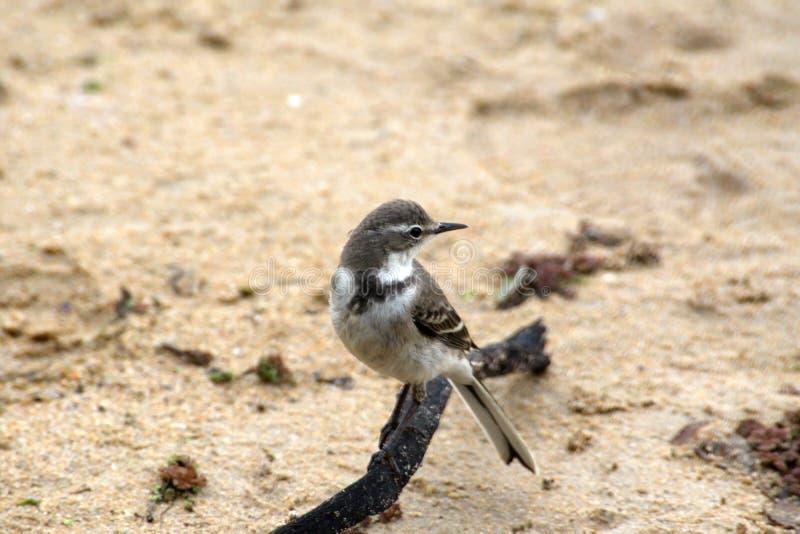 Aguzanieves del cabo en la playa foto de archivo libre de regalías