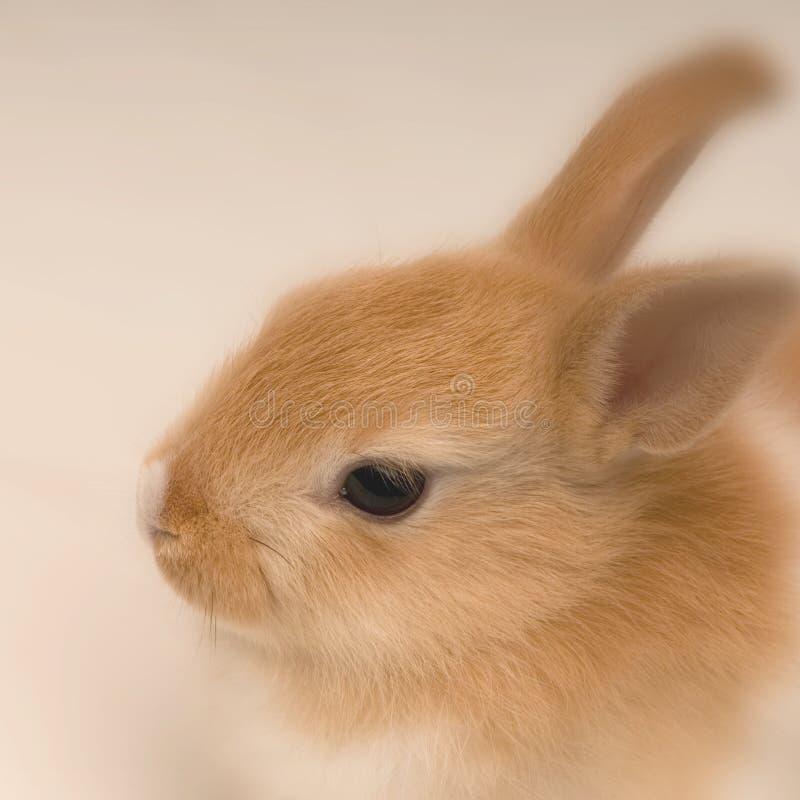 ahead looking rabbit straight στοκ εικόνες με δικαίωμα ελεύθερης χρήσης