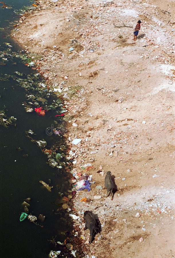 Ahmadabad, la India: El niño se coloca al lado de la orilla del río mientras que los cerdos buscan a través de la basura imagen de archivo libre de regalías