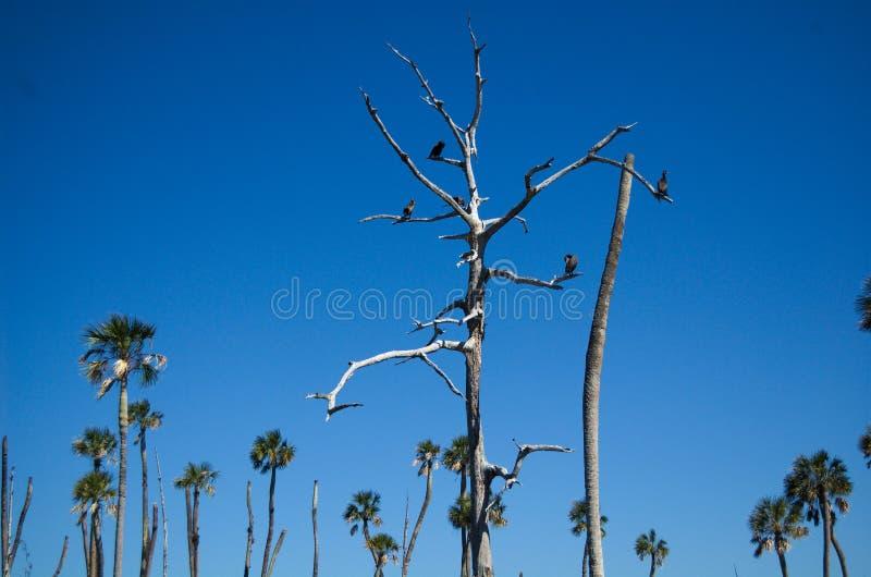 Ahninga drzewo obrazy stock