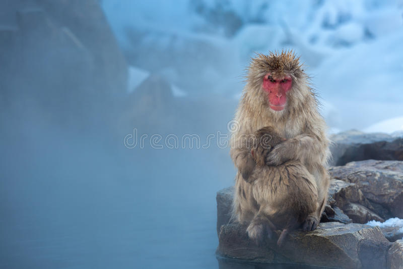 ahora Macaque Onsen del mono imagenes de archivo